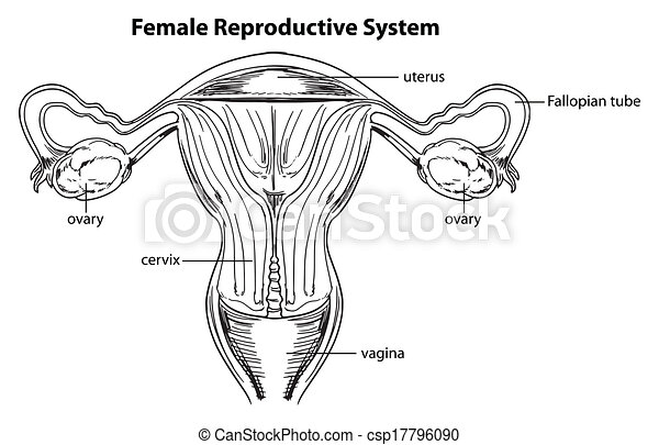 Female reproductive system illustration of the female reproductive female reproductive system csp17796090 ccuart Gallery