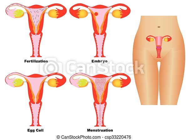 Female reproductive system. reproductive system of women on white ...