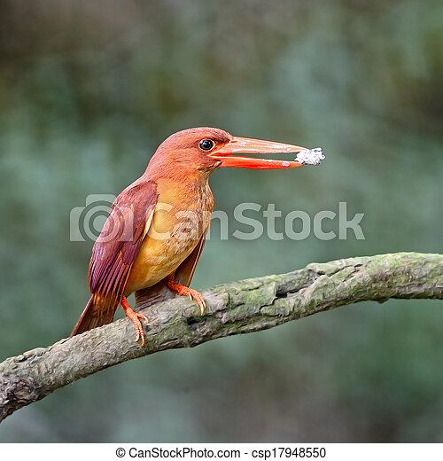 female Ruddy Kingfisher - csp17948550