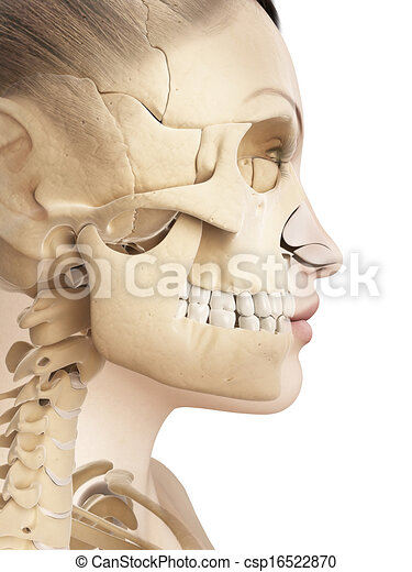 Female skull anatomy. 3d illustration of the female skull anatomy.