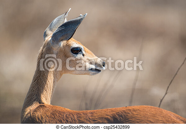 Female Steenbok - csp25432899
