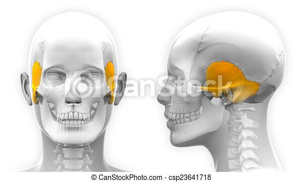 Female Temporal Bone Skull Anatomy - isolated on white - csp23641718