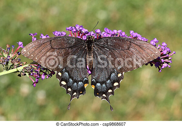 Female Tiger Swallowtail (papilio glaucas) - csp9868607