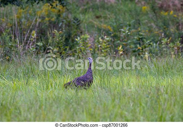 Female Turkey in the Grass - csp87001266