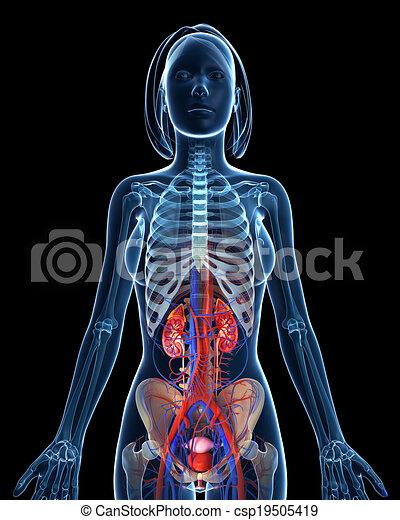 3d rendered illustration of female urinary system on black.
