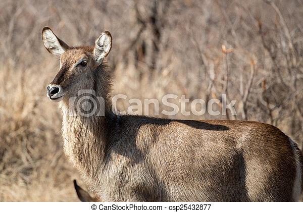 Female Water Buck - csp25432877