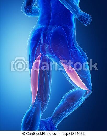 Femoris, bíceps, -, anatomía, músculo humano.