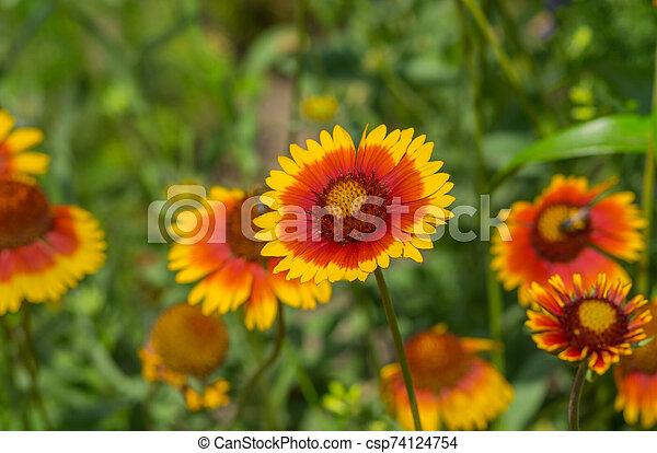 Feral Indian blanket flower in a summer garden - csp74124754