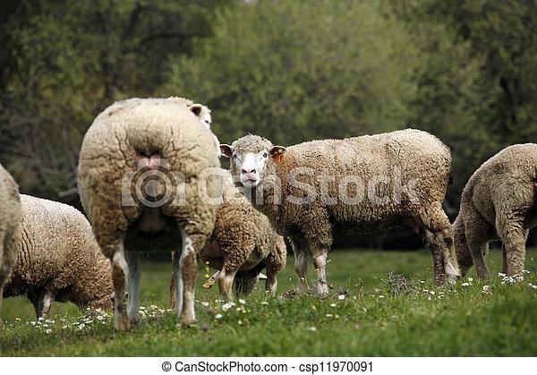 ferme mouton, -, bétail, troupeau - csp11970091