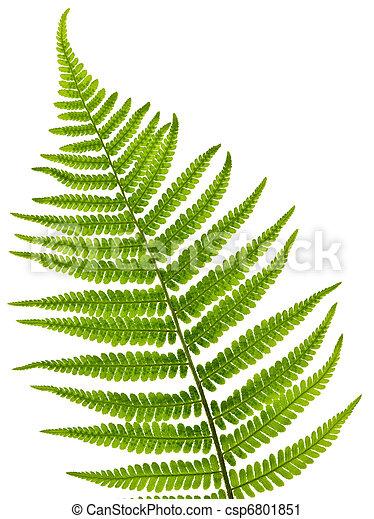 Fern leaf - csp6801851
