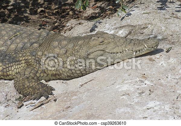 ferocious crocodile - csp39263610