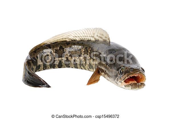 ferocious snakehead - csp15496372
