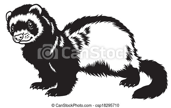 ferret black white - csp18295710