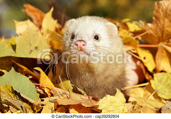 Ferret in autumn leaves - csp39292804