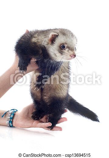 ferret in hand - csp13694515
