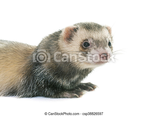 ferret in studio - csp38826597