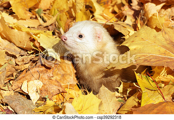 Ferret in yellow autumn leaves - csp39292318
