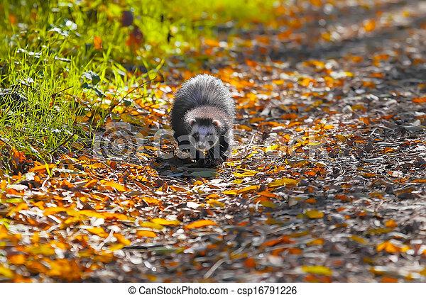 Ferret in yellow autumn leaves - csp16791226