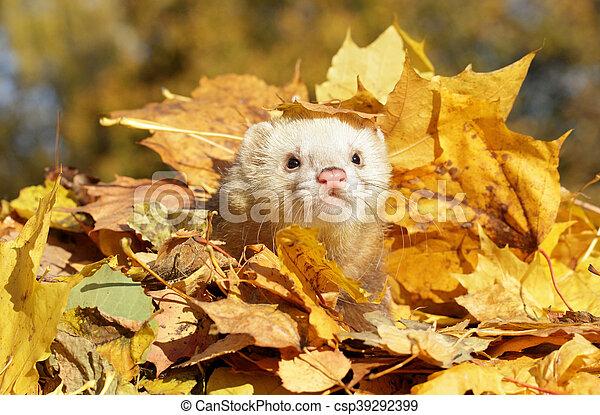 Ferret in yellow autumn leaves - csp39292399