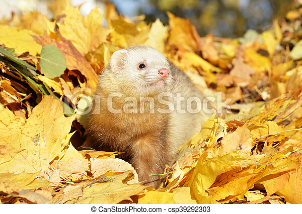 Ferret in yellow autumn leaves - csp39292303