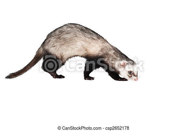 Ferret isolated - csp2652178