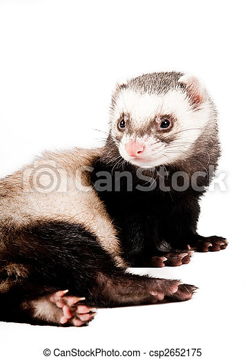 Ferret isolated - csp2652175