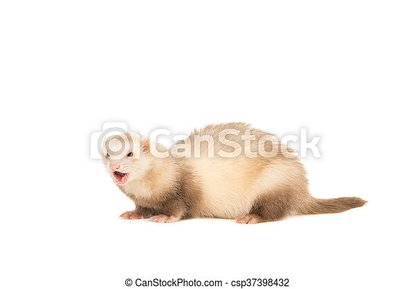Ferret lightbrown with mouth open - csp37398432