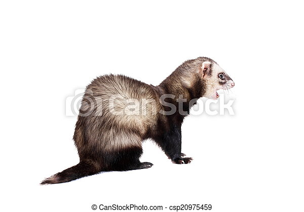 Ferret on white background - csp20975459