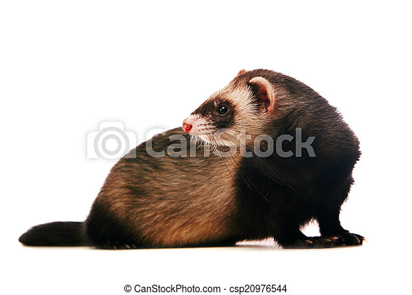 Ferret on white background - csp20976544