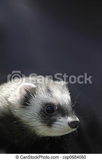 ferret portrait - csp0684060