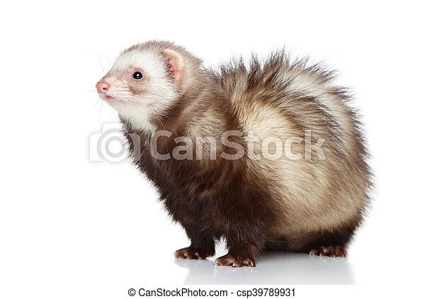 Ferret posing on a white background - csp39789931
