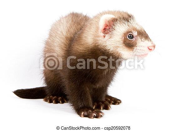 Ferret sitting - csp20592078