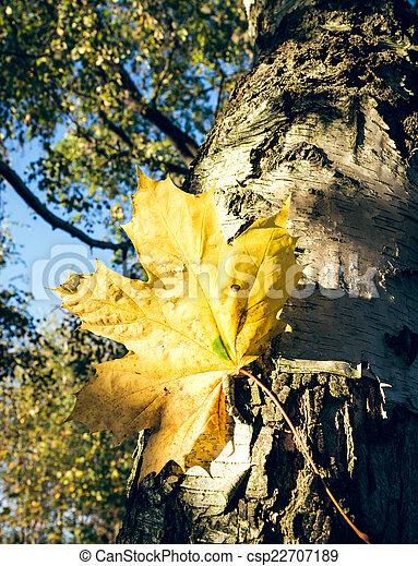 feuille arbre, érable - csp22707189