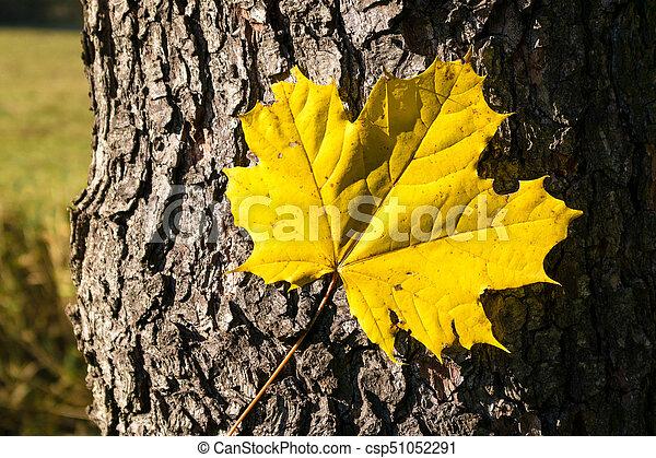 feuille, arbre, -, automne, bois, structure, écorce, érable - csp51052291