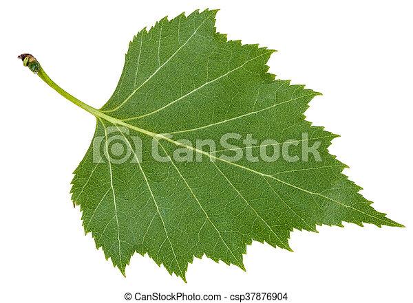 Feuille arbre dos isol vert bouleau c t feuille - Feuille de bouleau photo ...