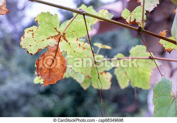 feuille, maladie, automne, vigne, attaquer, rouille - csp68349698