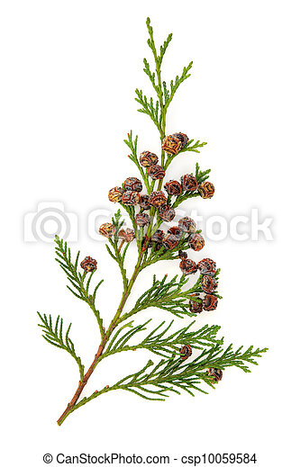 feuilles, cèdre - csp10059584