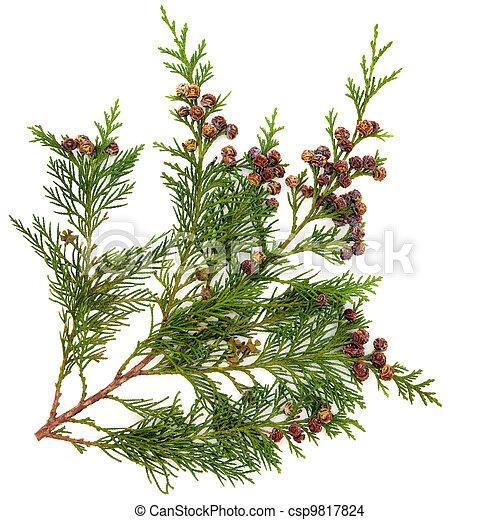 feuilles, cèdre - csp9817824