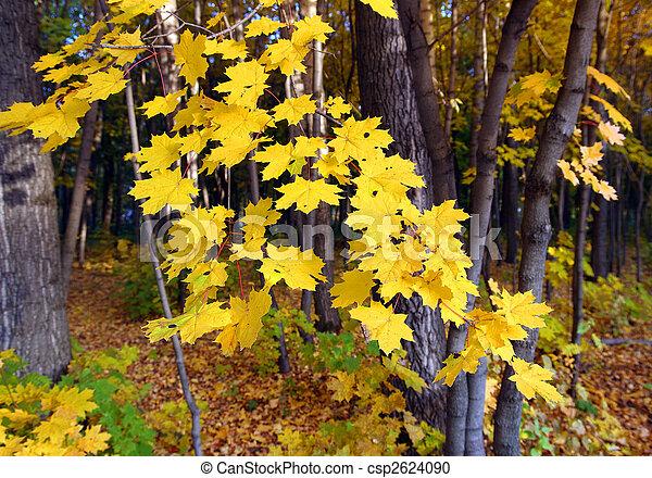 feuilles, jaune, clair, érable - csp2624090