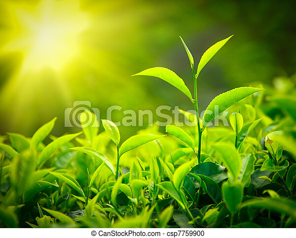 feuilles thé, bourgeon - csp7759900