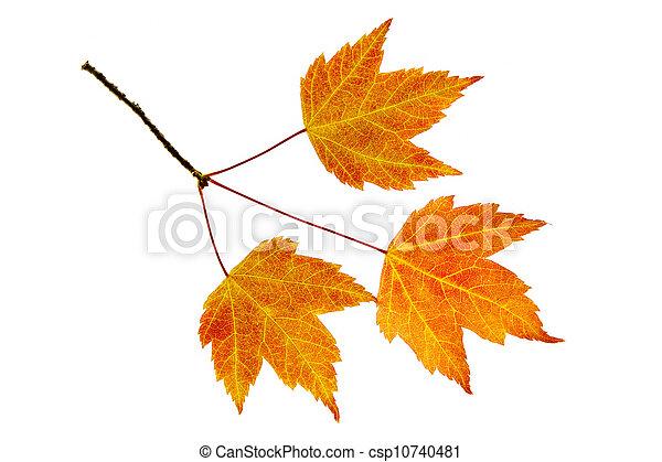 feuilles, trio, érable, automne - csp10740481