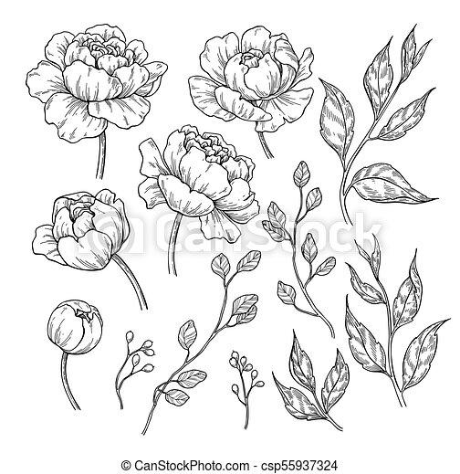 feuilles, vecteur, pivoine, main, dessiné, fleur, gravé, flor, drawing. - csp55937324