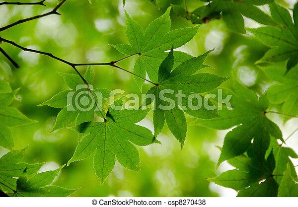feuilles, vert, érable, fond - csp8270438