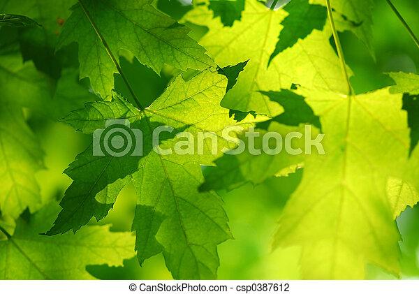 feuilles, vert, érable - csp0387612