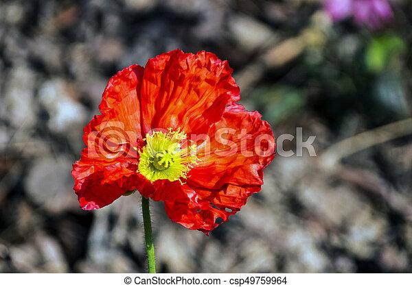 Ffowering red iceland poppy flower on blurred background close up ffowering red iceland poppy flower on blurred background csp49759964 mightylinksfo