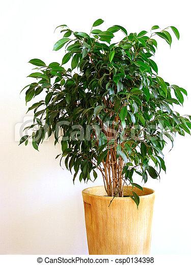 Ficus - csp0134398