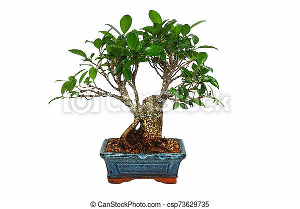 Ficus Tiger Bark Bonsai Over White Ficus Tiger Bark Bonsai Isolated Over White Background Ficus Retusa Canstock