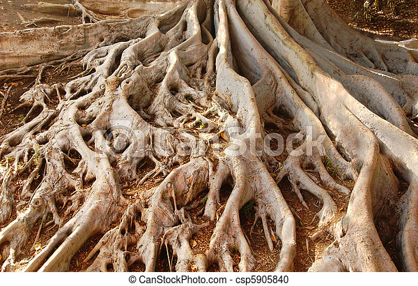 Ficus Tree Roots in Balboa Park - csp5905840