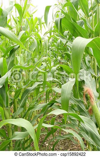 Field corn in the field - csp15892422