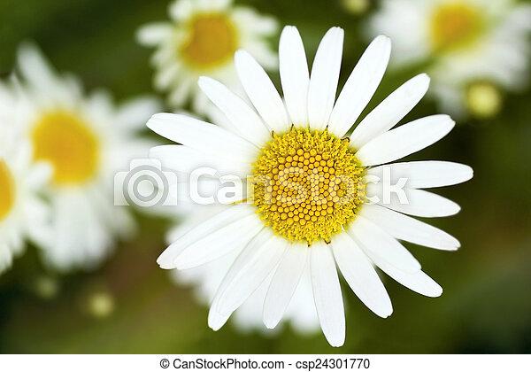 Field daisy flower field daisy flower with white petals and yellow field daisy flower csp24301770 mightylinksfo